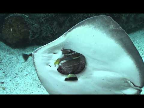 Stingray tries to eat a fish at the Aquarium of the Pacific