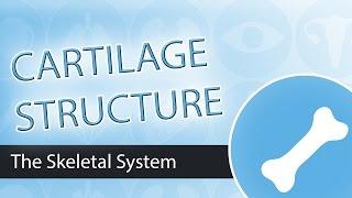 Cartilage Structure