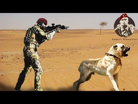 Kangal ile Bordo Bereli Operasyonu Hikayesi