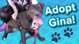 Adopt Gina! // Pit Bull Mix // Adoptable Featurette