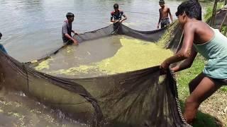 Pabda fishing video in pond / Bangladeshi Fish Farm