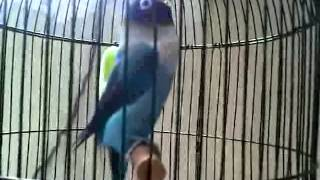 Gabungan Beberapa Lovebird Ngekek Panjang Download Mp3 Mp4 3GP HD Video