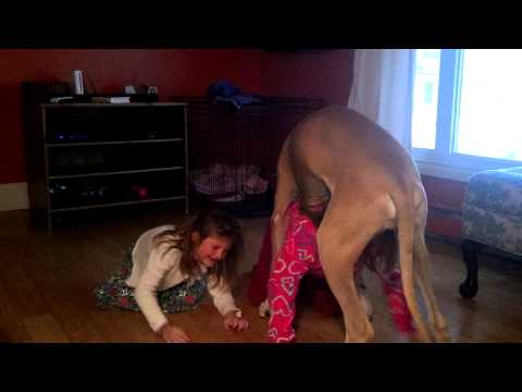6 month old great Dane playing with girls