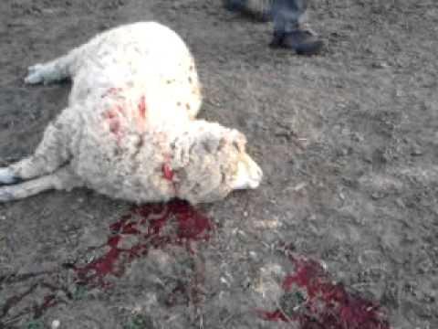 Matando a un cordero