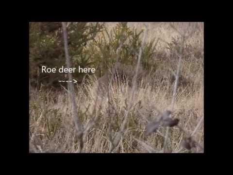 Primary Forest School & Bushcraft - Roe deer