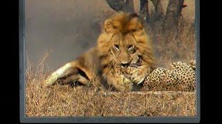 شاهد: اسود تقتل فهد LION Predation leopard