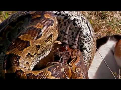 Deadly African Rock Python can swallow a fully grown man whole