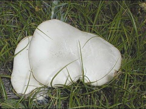 Степной белый гриб
