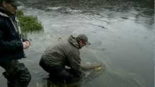 Отпустили лосося на 23кг. А вам, слабо? Salmon released