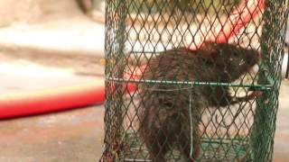 rate In a trap ||  simple humane rat trap|| real time