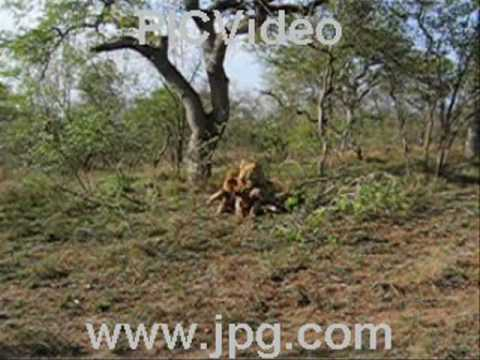 A Lion Climbs a Tree and Eats a Warthog