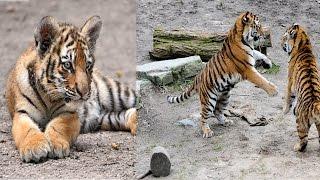 रॉयल बंगाल बाघ हिंदी में Royal Bengal tiger in hindi