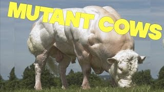 Mutant Super Cows Engineered For Maximum Meat