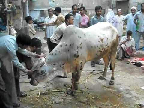 Eid Cow Qurbani Raw Vid Nov 2011