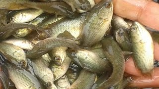 vietnam koi fish farming bd