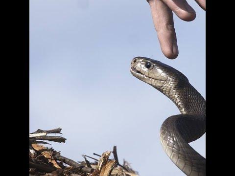 Black mamba vs Human