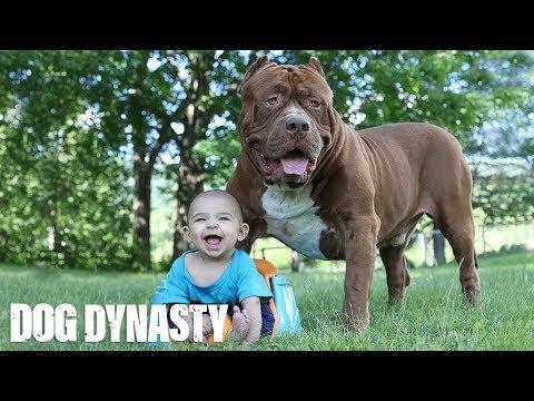 Giant Pit Bull Hulk & The Newborn Baby DOG DYNASTY