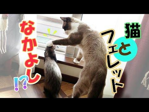窓際のフェレットと猫