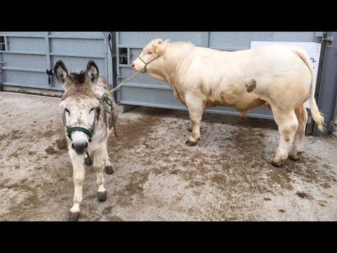 Donkey Teaches Cows To Walk