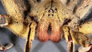 Boner Spiders; More Brazilian Wandering Spider Bites!