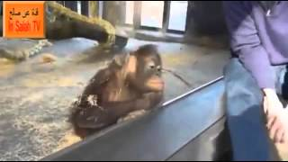 Chimpanzee learns the Magic Trick (Whatsapp Funny Vids)