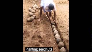 Ideal nuts, Planting coconut nuts and nursery spacing