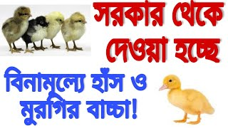 সরকার থেকে দেওয়া হচ্ছে বিনামূল্যে হাঁস ও মুরগির বাচ্চা! (govt distributing free chicks and duckling