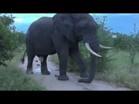 April 14 2017 Very Large Elephant Bull in full Musth with James Hendry