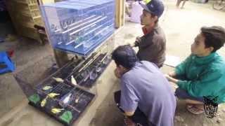 Berburu Cucak Kombo Sumbawa Gacor Di Pasar Burung Download Mp3 Mp4 3GP HD Video