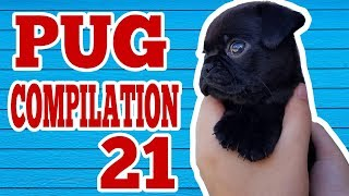 Pug Compilation 21 - Funny Dogs But Only Pug Videos | Instapugs