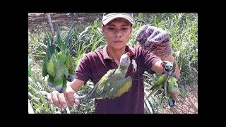 How to Catch Parrots with Easey way | Easy Method to Trap a Parrot || love with allah official |