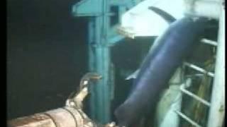 Marlin trapped in underwater oil platform