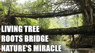 THE LIVING TREE BRIDGES OF CHERRAPUNJI - NATURE