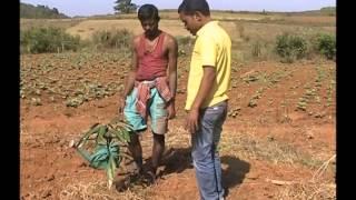 Mulching in mango cultivation Odia PRAGATI Odisha