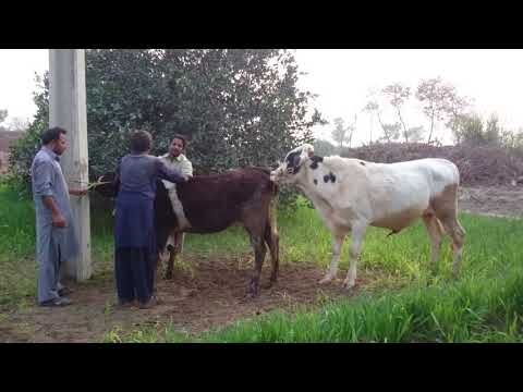 Xxx Mp4 Cow Mating In Boom Boom Style 3gp Sex