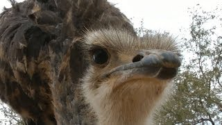 Emu defends me against attacking Ostrich