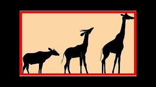 Odd creature was ancient ancestor of today's giraffes