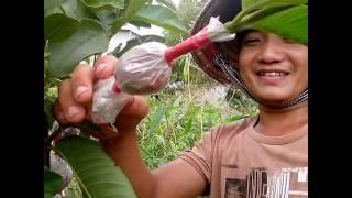 Grafting fruit tree in durian, guava, orange