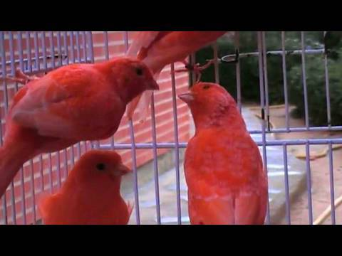 Kanárik Red canaries. Canarios lipocromo rojos intensos nevados.