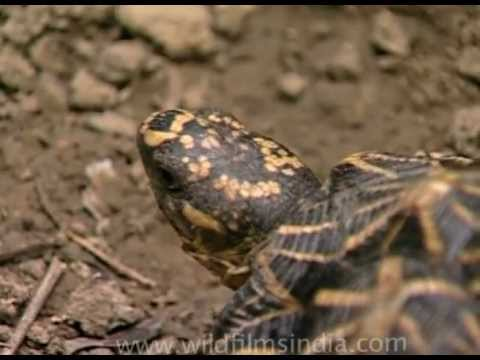 This is how fast a tortoise can walk - Indian star tortoise!
