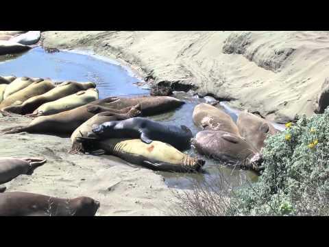 Elephant Seal Sex - Strange Mating Rituals