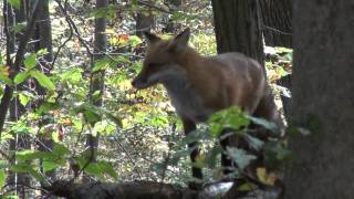 Fox Sighting in the Forest - www.returntonature.us