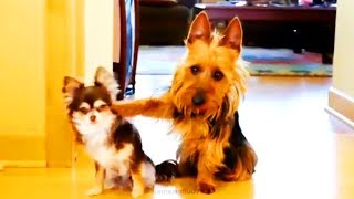 Funny Dogs  🐶 😍 Pet Dogs Being Funny (Full) [Funny Pets]