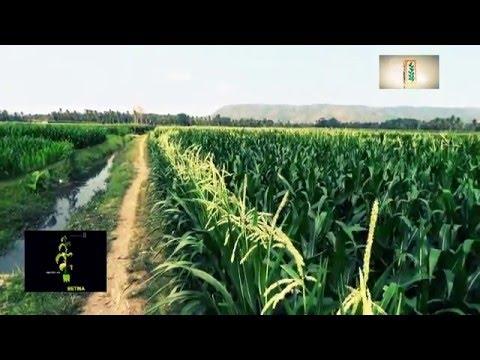 cara tanam jagung hibrida-Monsanto Indonesia