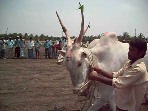 bull-ox cart race giriyapura 29