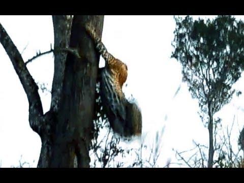 Leopard & Wild Dog Clash Latest Sightings