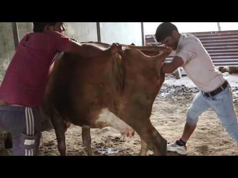 Xxx Mp4 गाँव का डॉक्टर गाय का बच्चा कैसे बाहर निकालता है Baby Cow Exits To The Village Doctor 3gp Sex