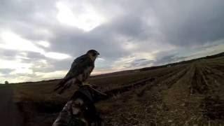 Shakh (barbary falcon) pigeon