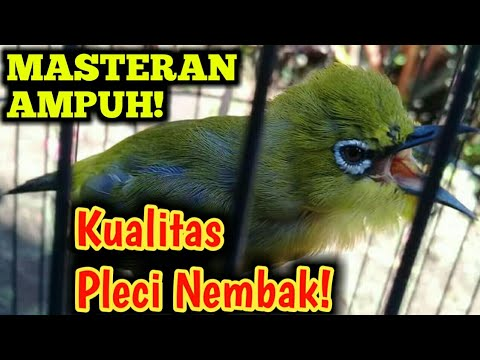 Masteran Pleci Nembak Juara 2018