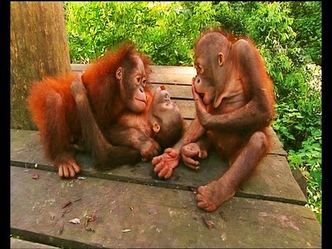 Xxx Mp4 Little Baby Orangutans Get Scared 3gp Sex